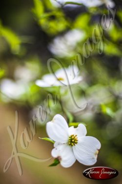 Dogwood_Tree_Images_Dogwood_Blossoms_001