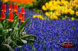 Kuekenhof-Gardens-Netherlands_02
