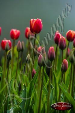Kuekenhof-Gardens-Netherlands_10