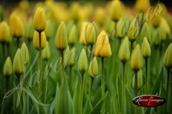 Kuekenhof-Gardens-Netherlands_