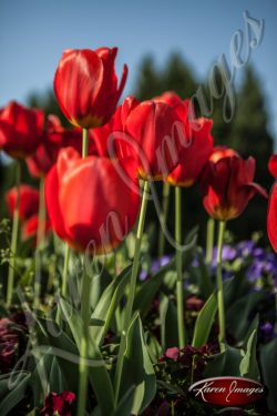 Tulips_Atlanta_Art_Fine_Art_Photography