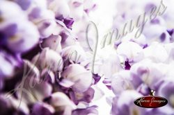 Wisteria_Images_Atlanta_Fine_Art_Photography_017
