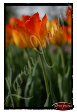marching-bulbs-tulips