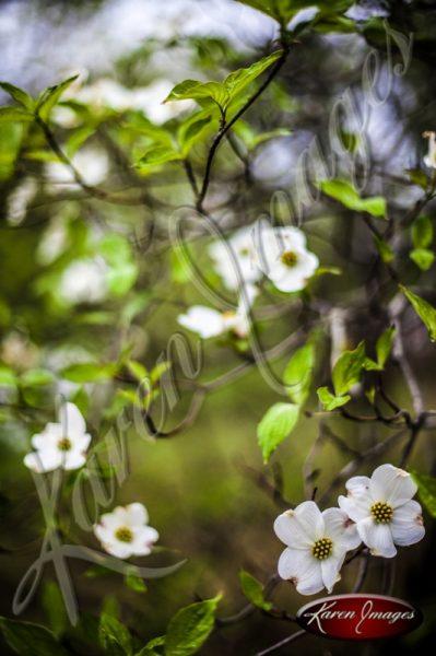 Dogwood_Tree_Images_Dogwood_Blossoms_Atlanta_003