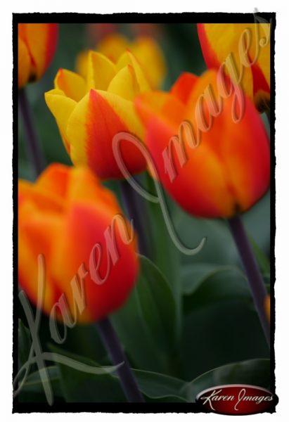 Drie-Bloemen-Tulips
