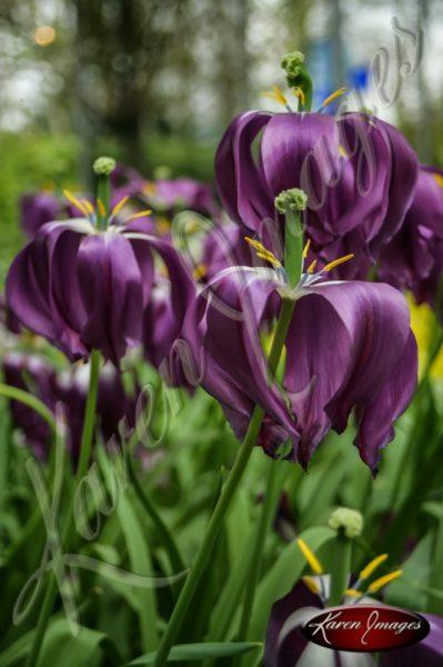 Kuekenhof-Gardens-Netherlands_19