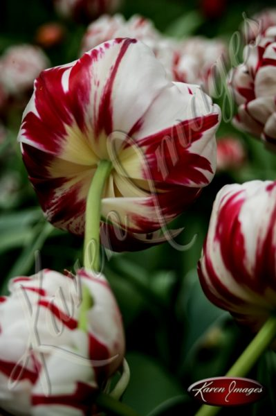 Kuekenhof-Gardens-Netherlands_26