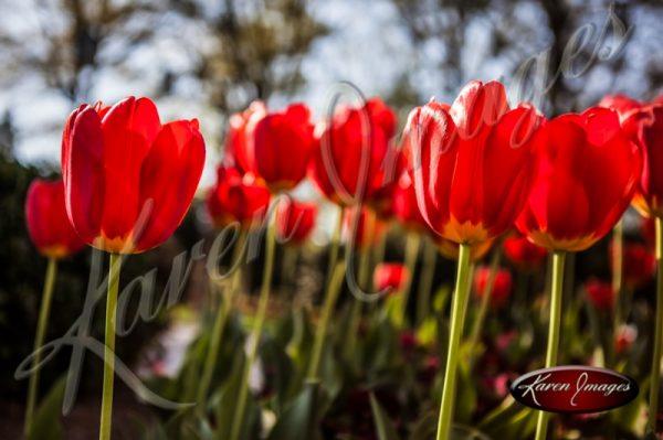 Tulips_Atlanta_Art_Fine_Art_Photography