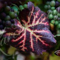 Culture of Wine