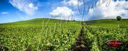royal champagne vineyards of Ay