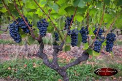 Pinot noir grapes ready for harvest in cote rotie