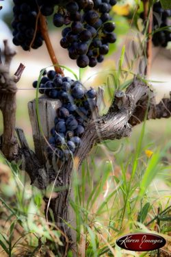 Grapes near harvest in Cote Rotie