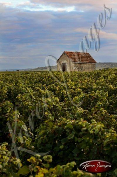 vineyard in cote de beaune