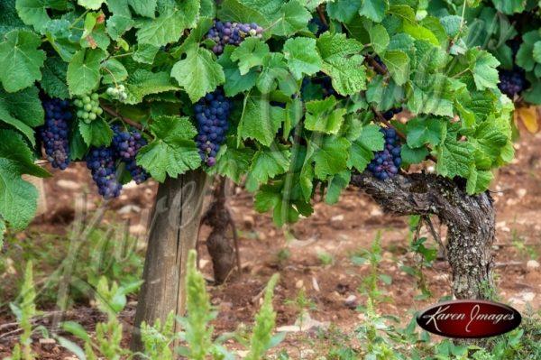 Pinot Noir near harvest in Cote Rotie Francee