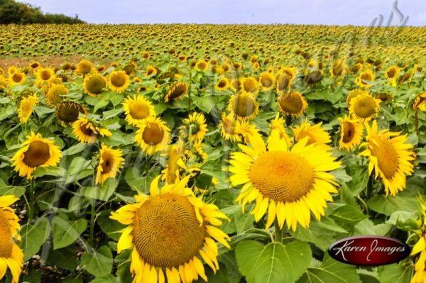 Sunflowers in field Loire Valley France