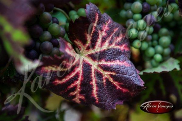 A Pinot Noir Leaf near harvest Champagne France