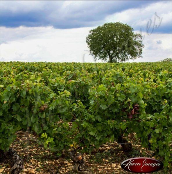 Famous tree of meursault vineyards france