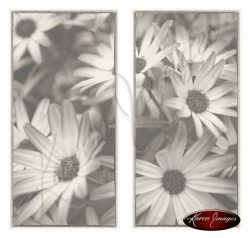 sepia of gerbera blossoms