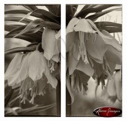 sepia image of lutea fritillaria flowers