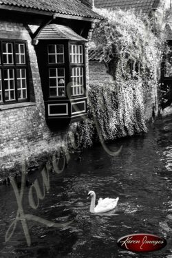 Black and white of brugge belgium swan on canal brick homes
