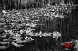 Black and white image of the okefenokee swamp georgia