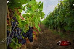 painting of pinot noir grapes at harvest in champagne france