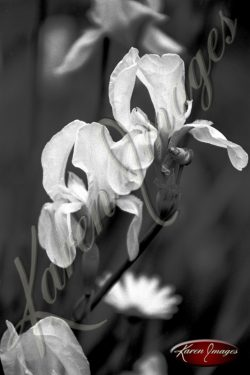 tulip flower fleur black and white iris