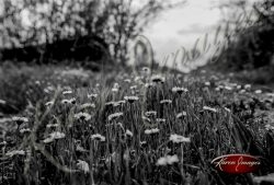 field of wild daisy flowers in black and white