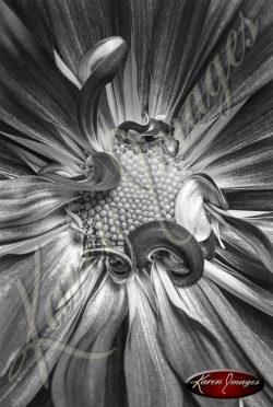daisies, gerner daisies black and white botanicals blossoms
