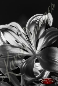 black and white flower image flowers floral on black in black and white