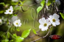 Dogwood_Tree_Images_Dogwood_Blossoms_Atlanta_003
