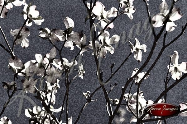 dogwood branches in bloom
