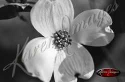 Black and White Botanical Images Dogwoods and Dndelions