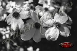 Black and white botanical image of Dogwoods