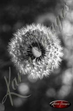 Black and white botanical image of Dandelions