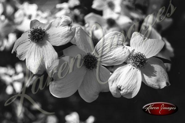Black and white botanical image of Dogwoods
