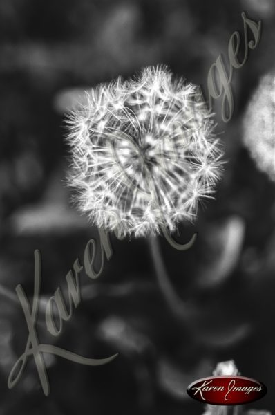 Black and white botanical image of Dandelions