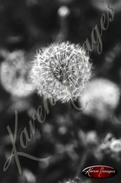 09_dandelion_flower_fine_art_photograph